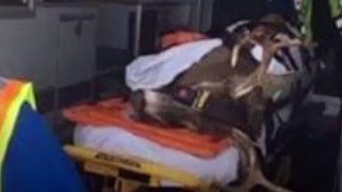 Deer Transported by Ambulance